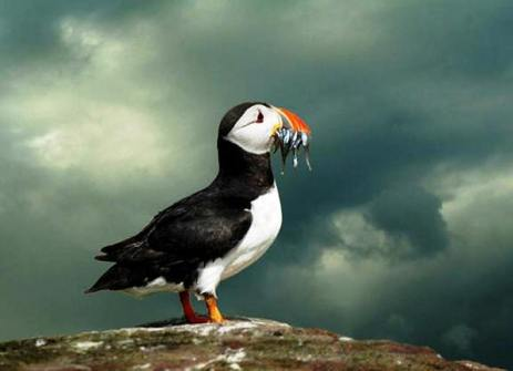 For Alan's benefit - the puffin we never saw