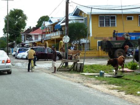 Cows roam free round the streets of Bartica
