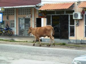 Roaming cows can create driving hazards in the streets of Bartica