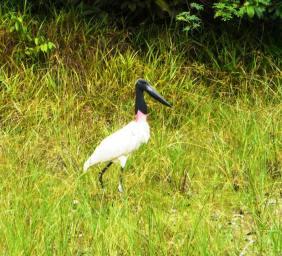An enormous Jabiru stork