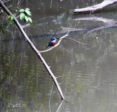 Kingfisher perched on a twig looking for lunch