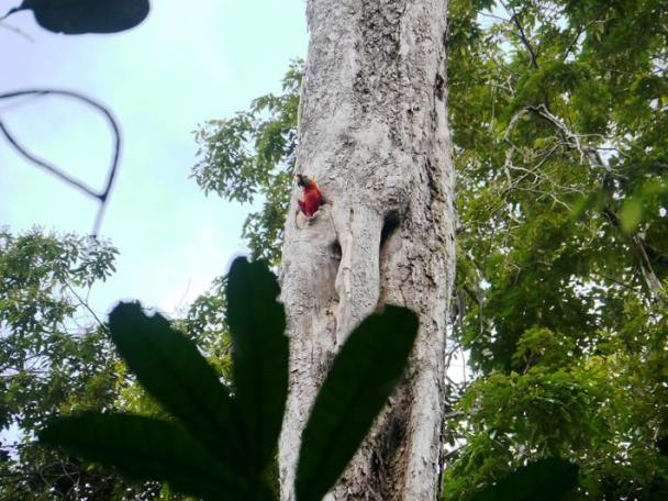 Scarlet Macaw comes out of its nest hole