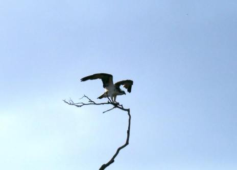 This was one of a number of Osprey that we saw ...