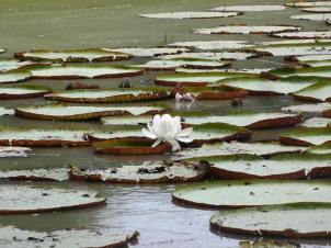 Near the house was an inlet covered with these enormous water lilies. The flowers open in the morning and then close up at night